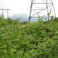 Rubus-discolor-Himalayan-Blackberry-1-750x750