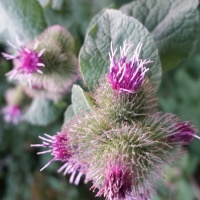 Weed of the Week: Common Burdock