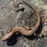 Northern Alligator Lizard photo by Leslie Anthony