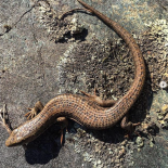Northern Alligator Lizard photo by Leslie Anthony