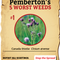Weed of the Week - Canada Thistle