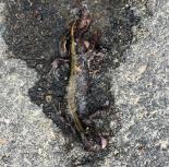 squashed long toed salamander photo by leslie anthony