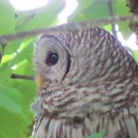 Spotted: Barred Owl