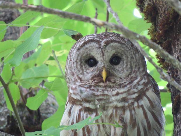 owl 012