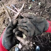 Ákwal̓micw - Cedar root