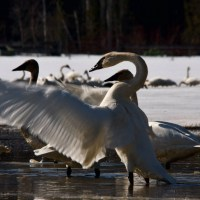 Hundreds of Trumpeter Swans Congregate in Pemberton: a sign of spring